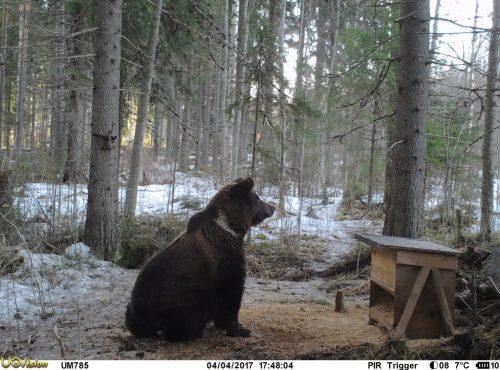 Karhu vartioi jyviä